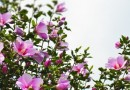 無究花(むくげ)と桜(さくら)―真理は隣人によって証しされる  堀澤 六郎